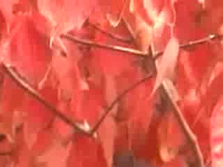 MedicineFilms.com - Red Leaves and Knife