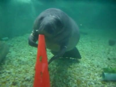 Manatee Float